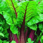 A reference image from the web of one variety of rhubarb.