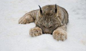 Lynx in the snow, by Raymond Barlow (raymondbarlow.com)