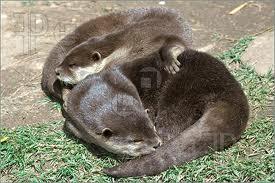 http://www.featurepics.com/FI/Thumb300/20061120/Two-Otters-Sleeping-Grass-144002.jpg