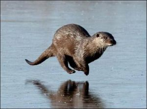 Otter running on frozen pond.