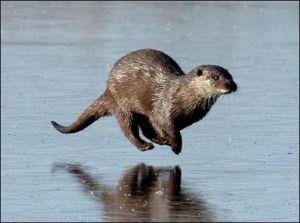 Otter running on frozen pond.