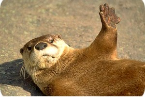 Otter with his paw up.
