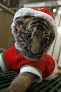 A tiger cub in a Santa Suit