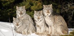 Four lynxes