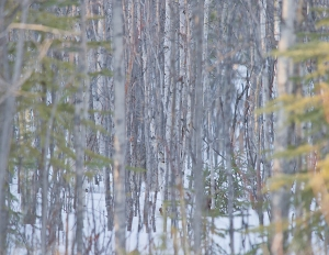 A lynx in the snowy woods, barely visible.