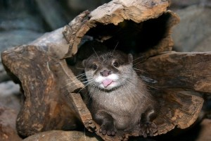 Otter in a log.