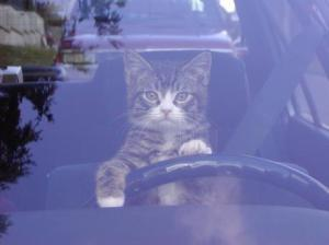 Cat driving.