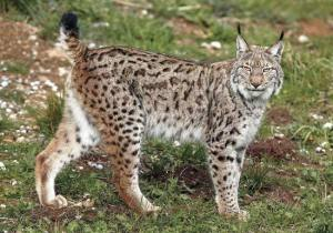 It's a lynx! On Friday! (network54.com)