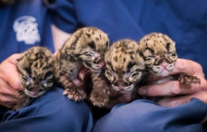 Quadruplet clouded leopard cubs were born at Point Defiance zoo and aquarium in Tacoma, Washington (Photograph: Point Defiance Zoo/Facebook)