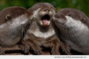 Not the baby otters. Check the video below to see them.
