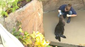 Mishka the sea otter diagnosed with asthma © King 5 News