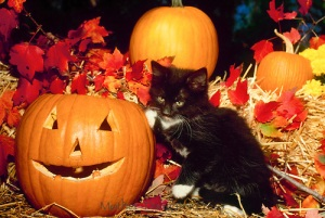 Black kitten with white paws plays on a hay bale near a jack o lantern for Halloween