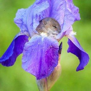 A vole sleeping inside an iris blossom
