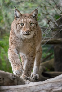 Siberian Lynx © San Diego Zoo.