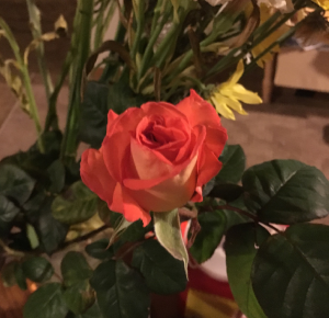 A bud from a branch I had to trim off one of our roses late last week has finally started to bloom (© Gene Breshears)