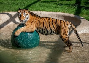 Rescued tiger, Aasha (© IN-SYNC EXOTICS)
