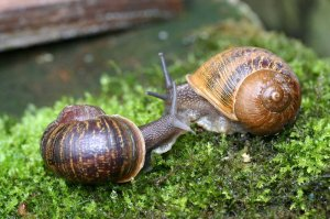 Two of the rare left-spiraling snails brought together at last...