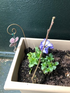 The squirrel-planted tree and two pansies from last year survived the winter.