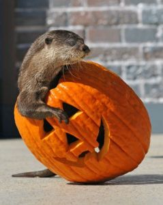 An otter climbs has climbed inside a jack o lantern, head and one forepaw sticking out of the opening on top.